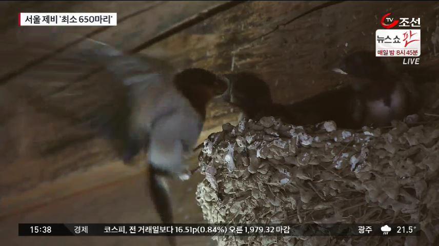 서울 제비 '최소 650마리'…하천 낀 주택가에 주로 서식