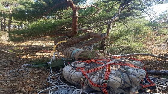'5그루에 2억원'…수령 200년된 소나무 훔친 일당
