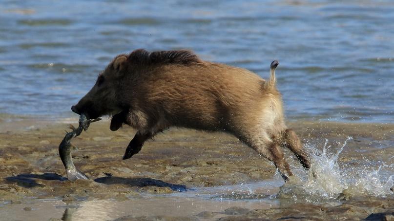 숭어 먹는 멧돼지?…강릉 남대천서 '특이 습성' 멧돼지 포착