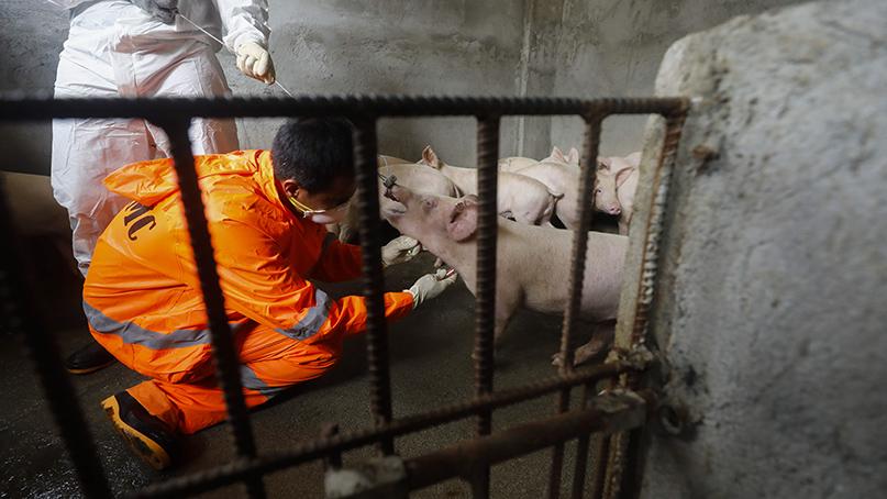 아프리카돼지열병에 세계 각국 양돈장 '초토화'