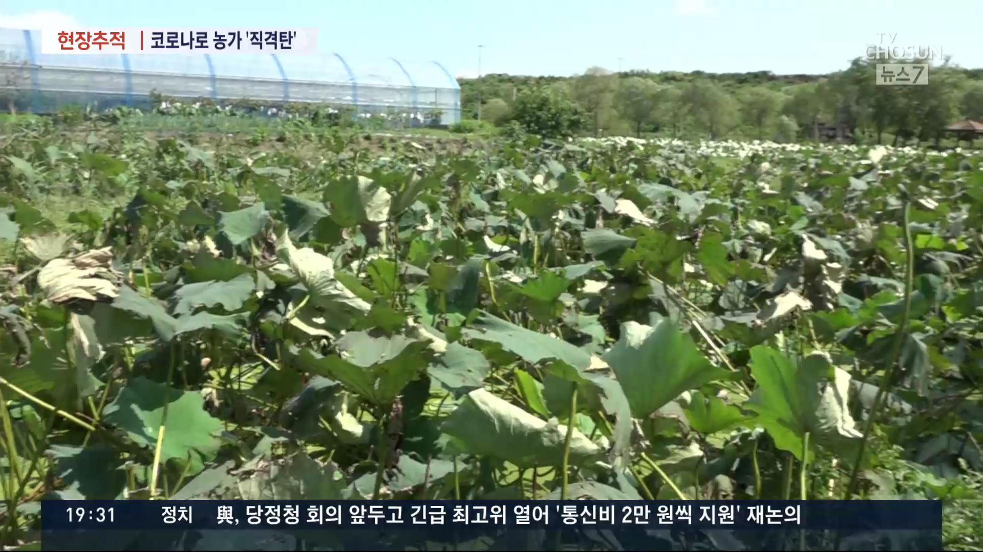 [현장추적] '축제·급식 줄어 쌓이는 작물'…코로나에 농가 '울상'