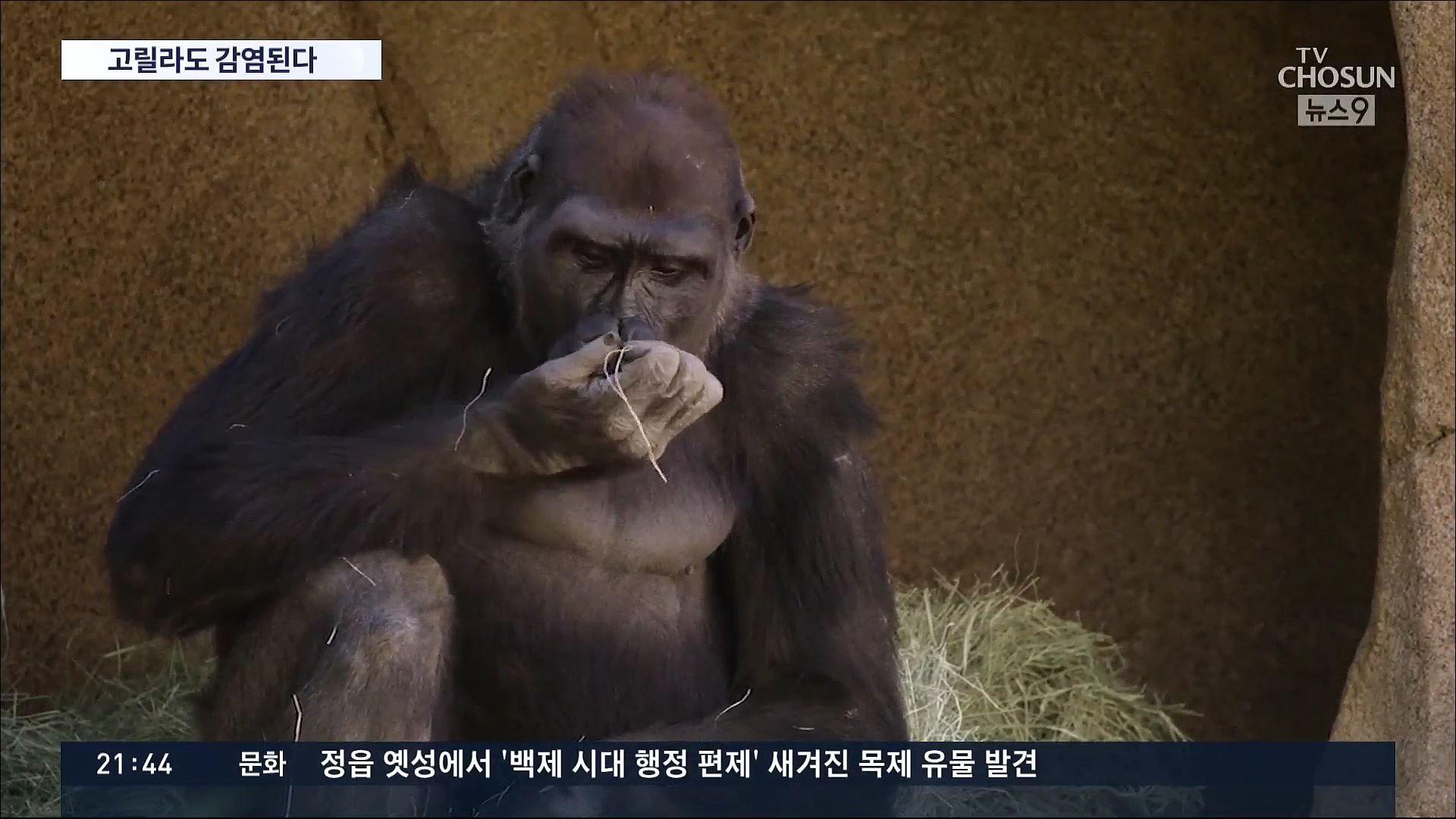 동물원 고릴라 코로나 양성…첫 영장류 감염, '직원한테 옮은 듯'